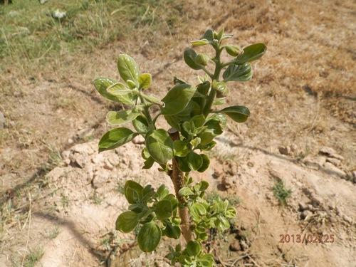 カンボジア柿苗発芽