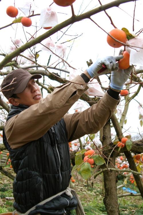 冷蔵富有柿.jpg