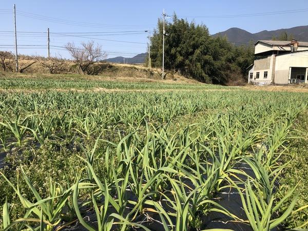 奈良県産にんにく成長過程報告