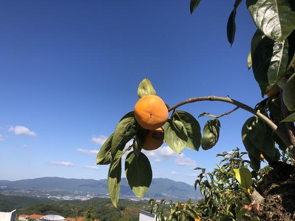 富有柿の収穫もそろそろ
