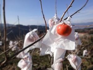 【最高級の富有柿】霜朱宝(しものたから)--送料無料--